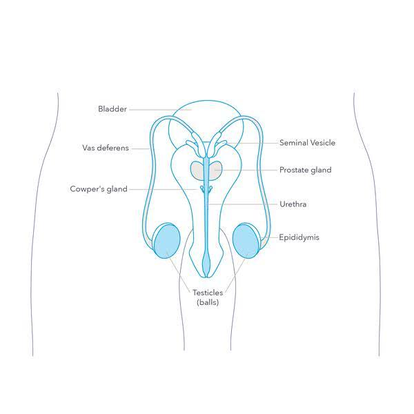 Из чего состоит внутренняя мужская анатомия?