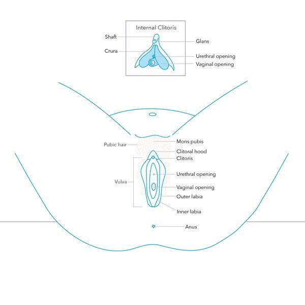 Из чего состоит внешняя женская анатомия?